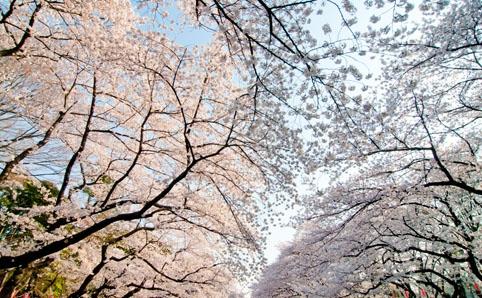 上野公園『第64回 うえの桜まつり』