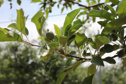 リンゴ農園に突撃(?)してリンゴ農家の本音を取材したよ(後編)