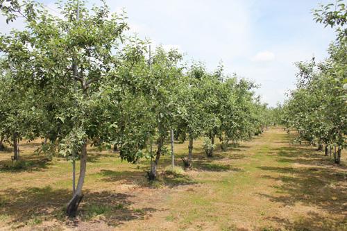 リンゴ農園に突撃(?)してリンゴ農家の本音を取材したよ(前編)