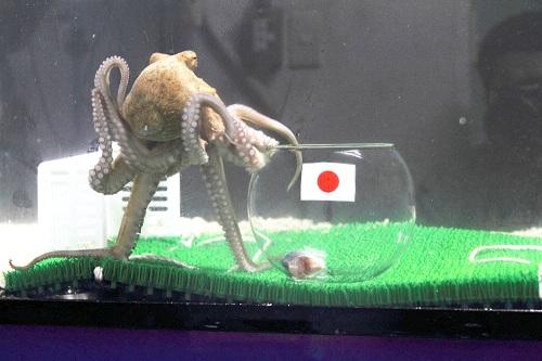"""日本のパウル君? 八景島の""""タコひろし""""が『FIFA コンフェデレーションズカップ ブラジル 2013』の予想を敢行"""