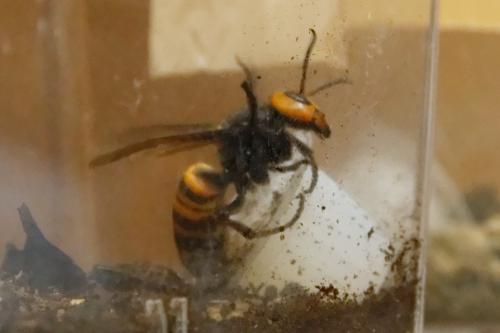 スズメバチの展示