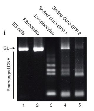 いまさら人に聞けない小保方晴子のSTAP細胞Nature論文と捏造問題の詳細 その1 TCR再構成と電気泳動実験