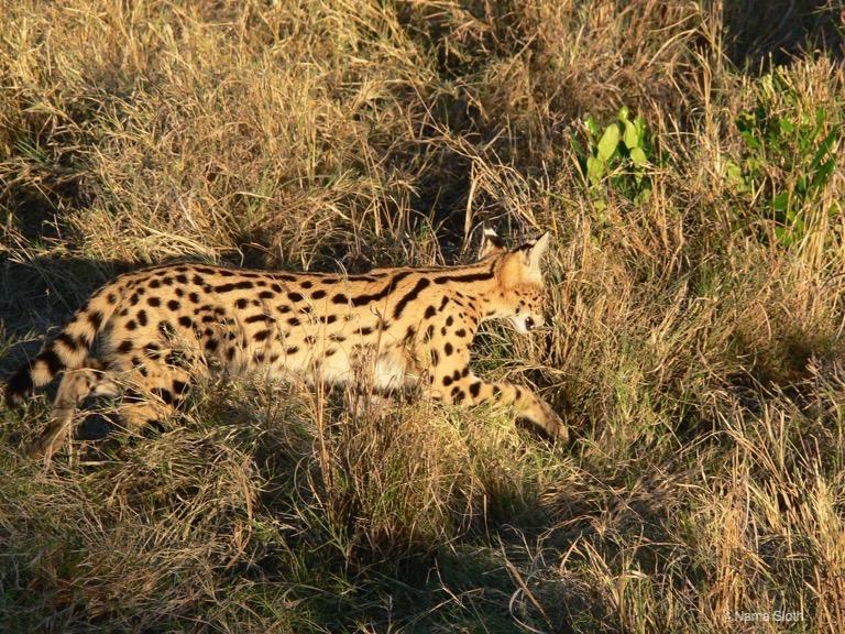 撮影:新宅広二/ケニア・マサイマラ国立保護区の野生のサーバル。特殊な耳を使って隠れているネズミを見つけて忍び寄っている瞬間)