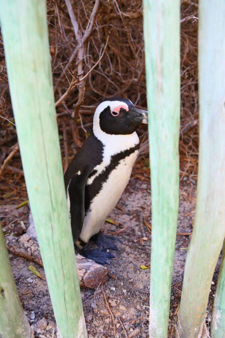 penguin00000031