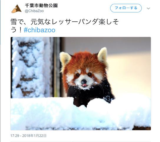雪に喜ぶレッサーパンダ