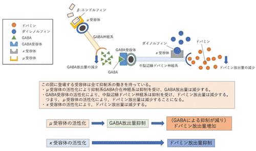 オピオイド受容体とドパミン