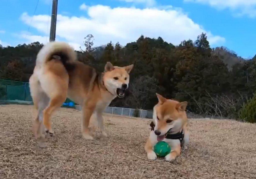りんご 郎 動画 柴犬