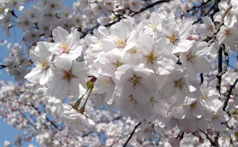 新宿御苑『春の特別開園』