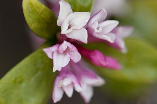 春の花ジンチョウゲ