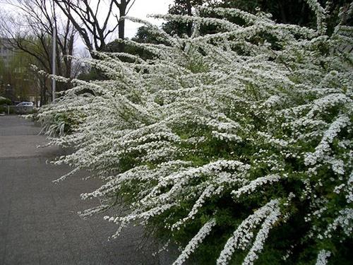 春の花ユキヤナギ