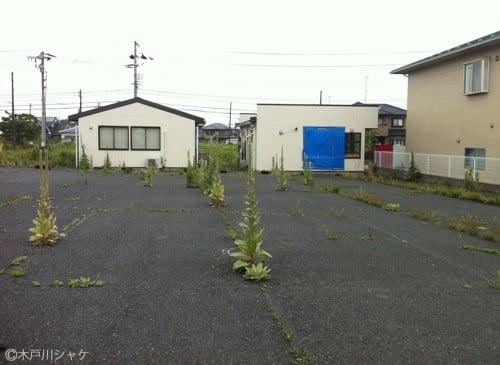 1メートル50センチほどある謎の植物/富岡町新夜ノ森