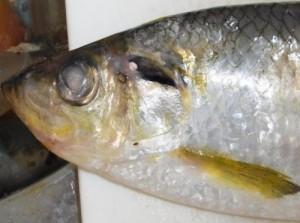 """瀬戸内ではめでたい魚!? 今が旬の出世""""しない""""魚を食べる"""