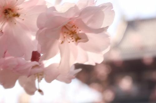 【動画】増上寺の桜を撮影してきた