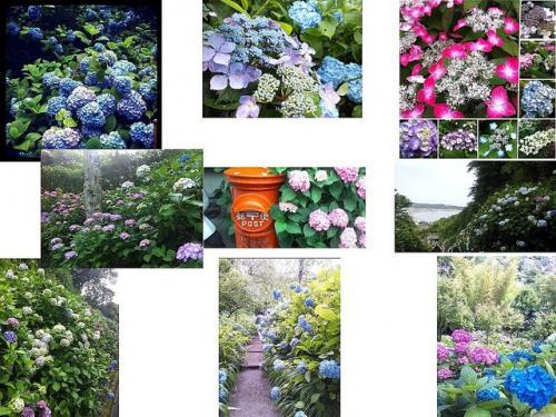 ジメっとした気分を吹き飛ばせ! いまが見ごろ、鎌倉の紫陽花写真の数々