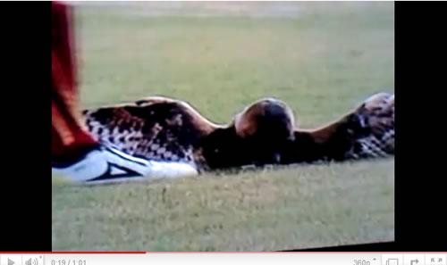 サッカー試合中にフクロウを蹴り飛ばした選手を処分 ファンが「殺人者!」とブーイング
