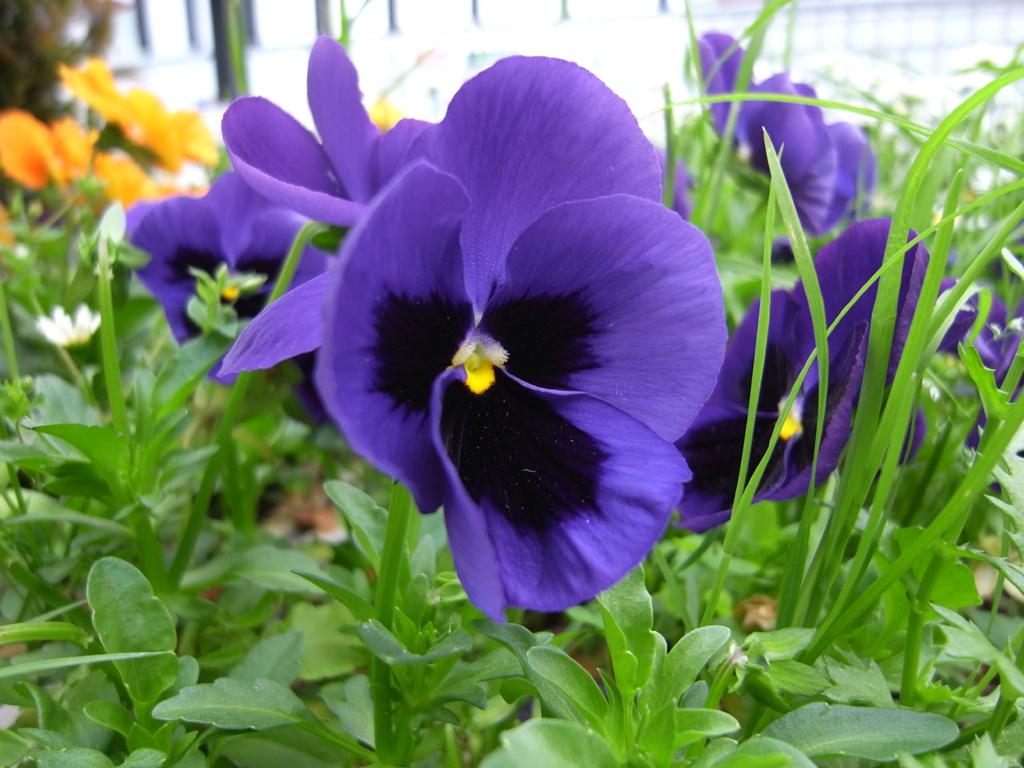 パンジー 紫
