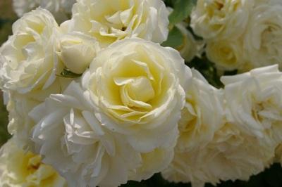 父の日のシンボルフラワーは白いバラ