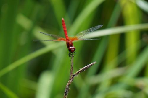デジタルカメラで昆虫採集 ~夏休みはトンボを撮ってみよう~
