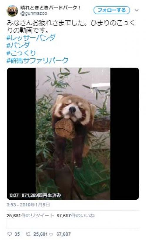 """レッサーパンダが木の上で""""こっくり""""眠る動画が話題に「落ちそうで落ちない」「びくっとする所はたまらん」"""