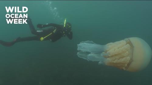 野生生物学者と巨大クラゲのツーショットが話題に