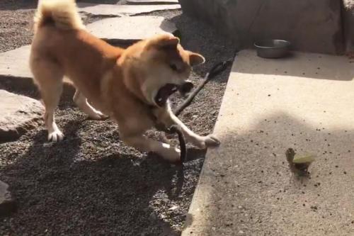 柴犬がカマキリと対決する動画が話題に「イッヌもかわいいし、カマキリさんも勇者」「ワンコの猫パンチ」