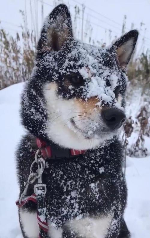 黒い柴犬が雪の中遊んだ結果→「真っ白だね」「ダルマ出来そう」