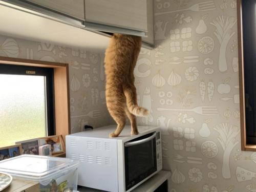 2本足で立って高いところに隠した猫用おやつをひょいっ! 職人ばりのテクニックを披露する猫が可愛すぎるニャ