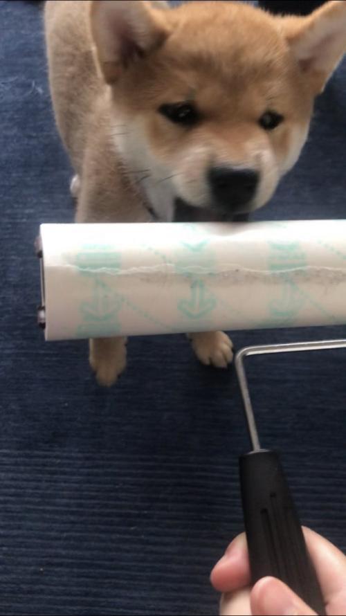 柴犬がお掃除のコロコロと戦った結果→「ねずこ?」「竹じゃなくてコロコロで」