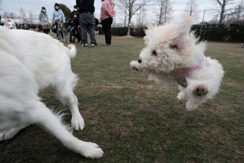 自分を大型犬だと思ってるトイプードルがネットで反響「圧倒的躍動感」