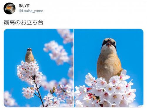 「桜のドレスを着ているみたい」「春ですね」 桜にとまる野鳥の写真が約7万いいねの反響