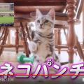 【眼福】競走馬「ネコパンチ」の名前が実況されるとアメショーの仔猫がネコパンチしてくれる動画