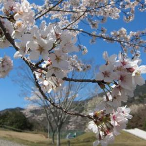 【徳島県三好市】今が旬! カメラ片手にお花見スポットを巡回してきたよ