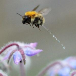 【画像】ハチが飛行中におしっこする瞬間を捉えた珍しい写真