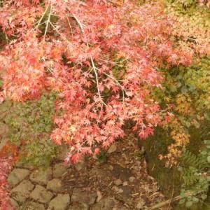 愛岐トンネル群の紅葉が色づいてきました
