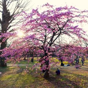【花鳥風月】代々木公園では早くもカワズザクラが満開!メジロも踊る!