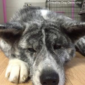 日本と欧米で違う飼い方 初心者にこそ大型犬がオススメな理由