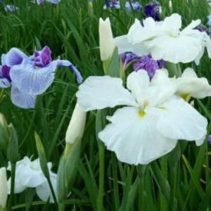 関東も梅雨入り 各地で花しょうぶやあじさいが見ごろに