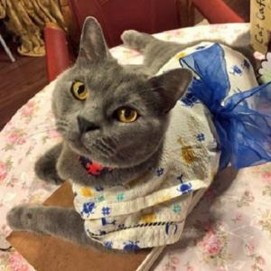 【秋葉原情報】浴衣姿でお出迎え!? ネコカフェ『cat cafe nyanny』の七夕イベントが猫好き必見