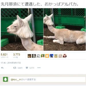 きゃりーぱみゅぱみゅやレディ・ガガみたい!? 「おかっぱアルパカ」の画像が『Twitter』で話題に