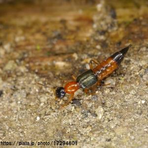 被害続出 アリにそっくり「やけど虫」の被害に注意
