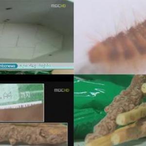 ロッテ製『ペペロ』から米粒サイズの幼虫! 専門家「その虫は人体に有害。アレルギーを引き起す可能性も」