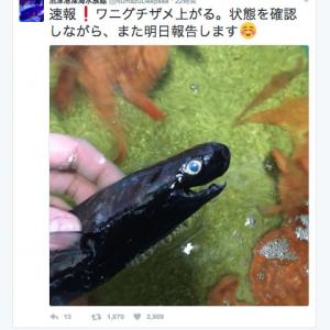 """「おもちゃみたい!」沼津港深海水族館がツイートした""""ワニグチザメ""""のヴィジュアルが衝撃的"""