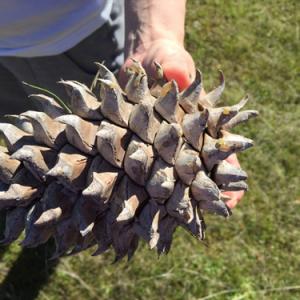 【画像】ヨセミテ国立公園で見つけた世界最大級の松ぼっくりをご覧ください もはや凶器