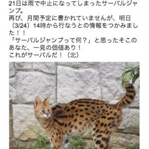 3/24の多摩動物公園で「サーバルジャンプ」が拝めるかも! 可愛いだけじゃないサーバルキャットの魅力