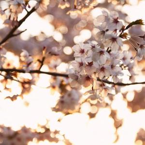 キラキラ桜フォトで「いいね!」倍増!? 魔法の桜撮影テクニック