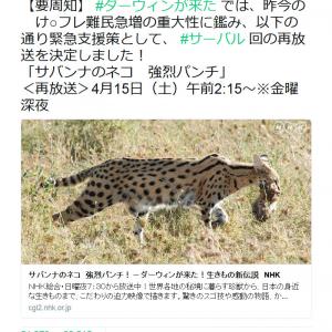 「けもフレ難民のお友達に」 NHK「ダーウィンが来た!」が再放送&4月24日にサーバル再登場!?