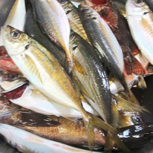 [大人の食育]「アジを釣って、晩飯をつくる」