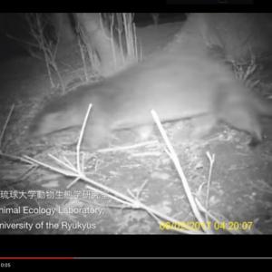 【動画】38年ぶりに国内絶滅種のカワウソ発見? 琉球大学が長崎県対馬にて動画撮影