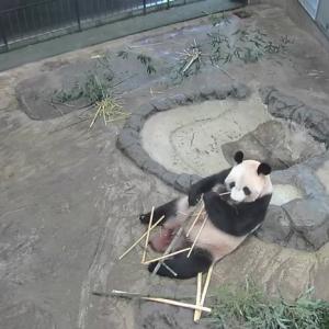 上野動物園ジャイアントパンダのライブ配信に萌える人続出! 和歌山・白浜アドベンチャーワールドにも脚光