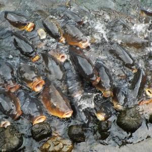 瀕死状態だったコイ250匹を人口呼吸で蘇生させたサラリーマンが凄い